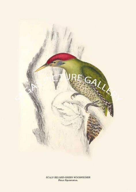 Fine art print of the SCALY-BELLIED GREEN WOODPECKER - Picus Squamatus. by John Gould (1831) reproduced by Segas Picture Gallery.